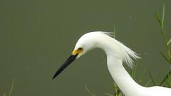 Garcinha - Snowy Egret (sileneandrade10) Tags: sileneandrade garçabranca garça garçota garcinha ardeidae pelecaniformes egrettathula snowyegret animal ave nature natureza nikon nikoncoolpixp900