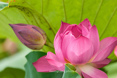 _J5K2615.0610.Gia Vân.Gia Viễn.Ninh Bình (hoanglongphoto) Tags: asia asian vietnam northvietnam flower lotus nature natureinvietnam canon canoneos1dsmarkiii ninhbình giaviễn giavân thiênnhiên hoa hoasen hoasenhồng pinklotus canonef100400mmf4556lisusm blossom lotusblossom cậncảnh close closeup