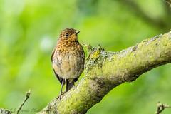 Juvenile Robin (ian._harris) Tags: d7200 nikon naturaleza nature sigma 500mmf45 natural naturephotography june rspb
