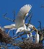 Momma Egret Returns to the Nest (Lee J2) Tags: greategrets egretchicks nest tree kiwanislake york pennsylvania ardeaalba
