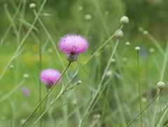 Pink flowers, stems and buds - Mantilaca salmantica - Asteraceae (Monceau) Tags: pink flowers stems buds bokeh mantilacasalmantica asteraceae