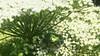 Hunter In The Emerald Forest (Coquine!) Tags: christianleyk unitedkingdom greatbritain green grün emerald white flower blüten weiss dolden beetle käfer metallica macro london battersea park walled garden garten