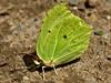 Le petit citron (David Bertholle) Tags: butterfly papillon citron lemon nature insect green vert macro makro ngc nikon sigma