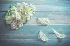 White bouquet (Ro Cafe) Tags: helios58mmf2 peruvianlily stilllife arrangement blooms flowers setup vintagelens whiteflowers white turquoise fromabove tabletop nikond600