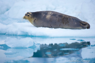 Seal relaxing on some glacial ice