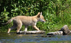 Exploring the Stream (hd.niel) Tags: redfox juvenile foxes nature wildlife photography stream ontario