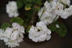 180525001 (murbozero) Tags: murbo japan flower
