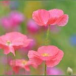 Pastel Pink Poppies thumbnail