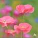 Pastel Pink Poppies