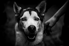 Le chien de Kaysersberg (PaxaMik) Tags: noiretblanc noir n§b chien animal dog kaysersberg blackandwhitephotos black b§w regard yeux eyes
