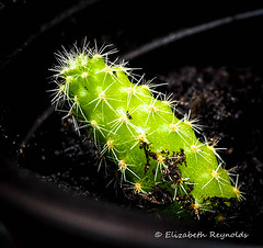 Day 148 (lizzieisdizzy) Tags: inside indoors indoor cactus tabletop succulent cactaceae caryophyllales areoles cacti