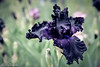 Black Flamenco (Yuri Dedulin) Tags: 2018 color flowers flowersandplants iris montcalir nj nature newjersey presbymemorial yuridedulin garden