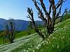 Narcissus fields below Golica (Vid Pogacnik) Tags: slovenia slovenija karavanke karawanken karawanks golica plavškirovt narcissus meadow flora flowers outdoors hiking