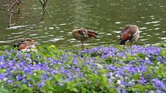 P3260606 non vedo non sento non parlo (La Patti) Tags: marzo march fiori flowers fiore flower primavera spring st jamess park colori colors nature natura regno unito londra london inghilterra england outdoor allaperto