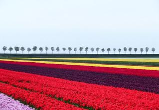 Landscape in the Netherlands, Beemster polder (Unesco world heritage)
