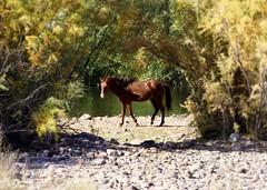 The Mane Event (vgphotoz) Tags: vgphotoz arizona wildhorses marculescueugendreamoflightportal nature themaneevent usa tontonationalforest saquaro river forest saltriver