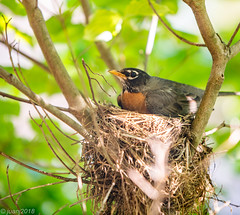 Bird in a Nest (JuanJ) Tags: nikon d850 lightroom art bokeh nature lens light landscape white green red black pink sky people portrait location architecture building city iphone iphoneography square squareformat instagramapp shot awesome supershot beauty cute new flickr amazing photo photograph fav favorite favs picture me explore interestingness wedding party family travel friend friends vacation beach robin nest animal kentucky ky georgetown scottcounty usa bird