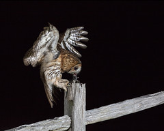 Tawny Owl (peterspencer49) Tags: peterspencer peterspencer49 tawnyowl owl raptor bird birdofprey nightphotography