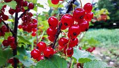 Ribizlifürtök szüret előtt (Ják) (milankalman) Tags: red currant berry fruit garden summer