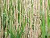 Reeds warbler (ekaterina alexander) Tags: reed warbler reeds summer wetland wetlands wild bird ekaterina alexander nature photography pictures england sussex