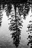 Roll With Me (Thomas Hawk) Tags: america california gyosemite2011 gyosemite2012 usa unitedstates unitedstatesofamerica yosemite yosemitenationalpark yosemitevalley bw refelction tree fav10