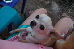 listening to the concert from the yard (EllenJo) Tags: clarkdale arizona summerconcertseries sentimentaljourney june9 2018 pentaxks1 june2018 chihuahua simon lapdog littledog smalldog cute hazellegs