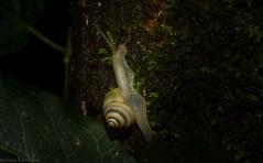 Posorites conscendens (dustaway) Tags: mollusca gastropoda pulmonata rainforestsnail rotaryparkrainforestreserve rprr lismore northernrivers nature nsw australia helicoidea camaenidae posoritesconscendens