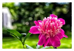 Blossom (Timothy Valentine) Tags: 2018 0618 flower perennials peony home sliderssunday eastbridgewater massachusetts unitedstates us outback