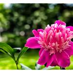 Blossom thumbnail