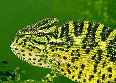 MY GREEN WORLD (GOPAN G. NAIR [ GOPS Creativ ]) Tags: gopsorg gopangnair gops gopsphotography gopan photography nature chameleon green chamaeleo zeylanicus