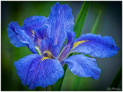 Blue Petals (jiroseM43) Tags: flower petals nature meadowlarkgardens olympus m43 em1markii 75300mm