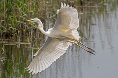 DSC2676  Egret.. (jefflack Wildlife&Nature) Tags: greatwhiteegret egret egrets birds avian animal animals wildlife wildbirds wetlands waterbirds waterways lakes ponds estuaries estuary reservoirs mudflats marshland marshes scrapes coastalbirds countryside nature jefflackphotography