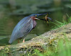 Lunch is Served (laurie.mccarty) Tags: greenheron pond tree grass bird animal nature wildlife water heron