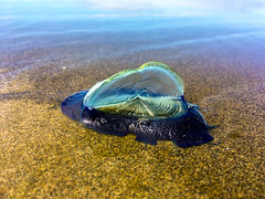 The Wind Sailor (elsquid) Tags: seacreature velellavelella pacific ocean beach jellyfish iphone