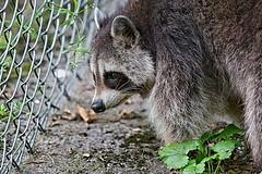 Raccoon (Aardwolf6886) Tags: procyonlotor raccoon devon dzp dartmoor dartmoorzoo mammal weboughtazoo northamerican sony sonyilca99m2 sal70400g2