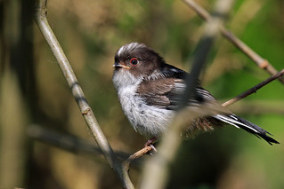 Newly Fledged Long-tailed Tit,