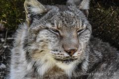 2018. Cantabria. Cabárceno. (Marisa y Angel) Tags: 2018 cabárceno linceboreal eurasianlynx eurasischerluchs linceeuropea lynxboréal lynxlynx