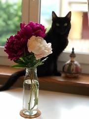 peonies and cats (svenja_i) Tags: cats peonies pfingstrosen pink white nature flowers window light sunday glass vase frühling pets haustiere blumen strauss