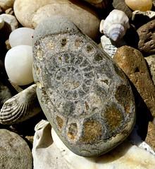 """Ammonite  #Macro Mondays  #Natural (Martellotower) Tags: """"natural"""" """"macromondays"""" ammonite fossil beach"""