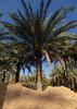 Date palm in an oasis, Ad Dakhiliyah Region, Al Hamra, Oman (Eric Lafforgue) Tags: alhamra arabia arabianpeninsula beautyinnature colorimage datepalm day desert gulfcountries idyllic lush middleeast nature nopeople nonurbanscene oasis oman oman18090 outdoors palmtree scenics tourist tranquilscene tranquility traveldestinations tree tropicalclimate tropicaltree vertical addakhiliyahregion