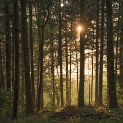 Fin de journée en forêt **---+---° (Titole) Tags: squareformat titole nicolefaton forest fir firtree sunlight mist trunks thechallengefactory 15challengeswinner gamex2