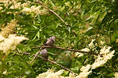 Juvenile Tits (Adam Swaine) Tags: tits longtailedtits juveniles rspb gardenbirds englishbirds britishbirds naturelovers nature england english canon seasons summer britain peckehamryepark parks londonparks trees animals wildlife