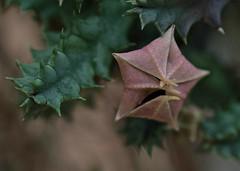 Huernia zebrina (Unopened) (ACEZandEIGHTZ) Tags: huernia zebrina nikon d3200 cactus lifesaver unopened flower closeup bokeh dof