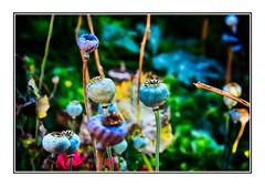Pavot sauvage dans le Cantal (thierrybalint) Tags: nikoniste nikon pavot sauvage fleur flore cantal auvergne macro nature wood wild flower undergrowth sousbois