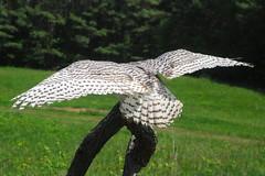 Snowy Owl, Nyctea scandiaca, female (53) (Herman Giethoorn) Tags: snowyowl bird raptor