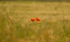 in the morning light (peeteninge) Tags: poppy flower red morninglight nature flora klaproos bloem natuur ochtendlicht fujifilmxt2 fujifilm