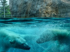 So This is How We Meet (Robert Cowlishaw (Mertonian)) Tags: amysteriousdance zoowalk bears forsophia nature swimmingunderwaterwithasmile dreamy mysticallooking swimming robertcowlishaw mertonian markiii g1x powershot canon canonpowershotg1xmarkiii polarplunge