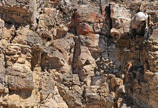 Coming Down! Bighorn Sheep Ram Coming Down Steep Rocks - 0327b