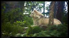 wolf (Neil Tackaberry) Tags: grey wolf greywolf graywolf canis lupus canislupus animal dublinzoo captivity 16x9 neil tackaberry neiltackaberry