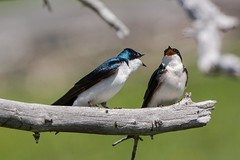 Whose branch is this anyway (ChicagoBob46) Tags: treeswallow swallow bird yellowstone yellowstonenationalpark nature wildlife branch ngc coth5 npc